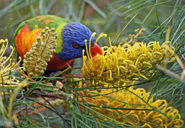 Rainbow lorikeet, grevillea hybrid, Atherton, Australia. Photo: David Clode.
