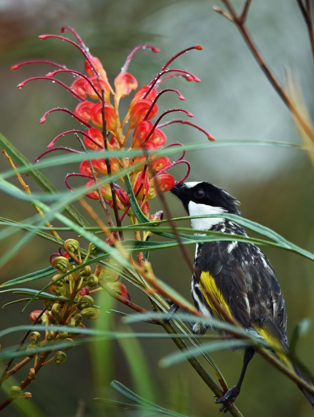 White-cheeked Honeyeater. Atherton. Photo: David Clode.
