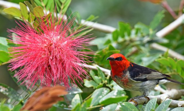 Scarlet Honeyeater, Lake Barrine. Photo: David Clode.