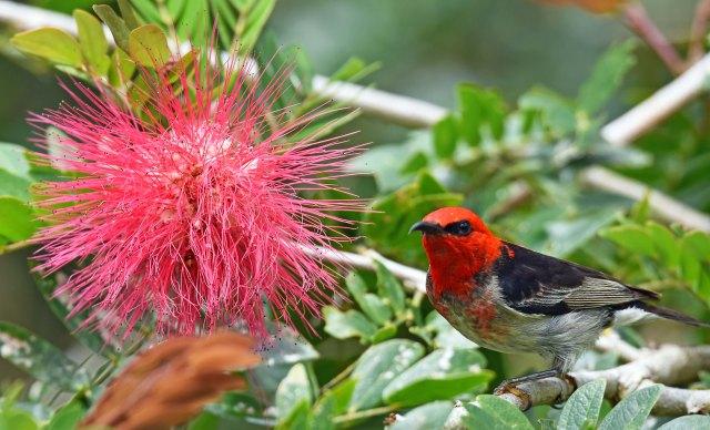 Scarlet Honeyeater, Lake Barrine. Photo: David Clode.