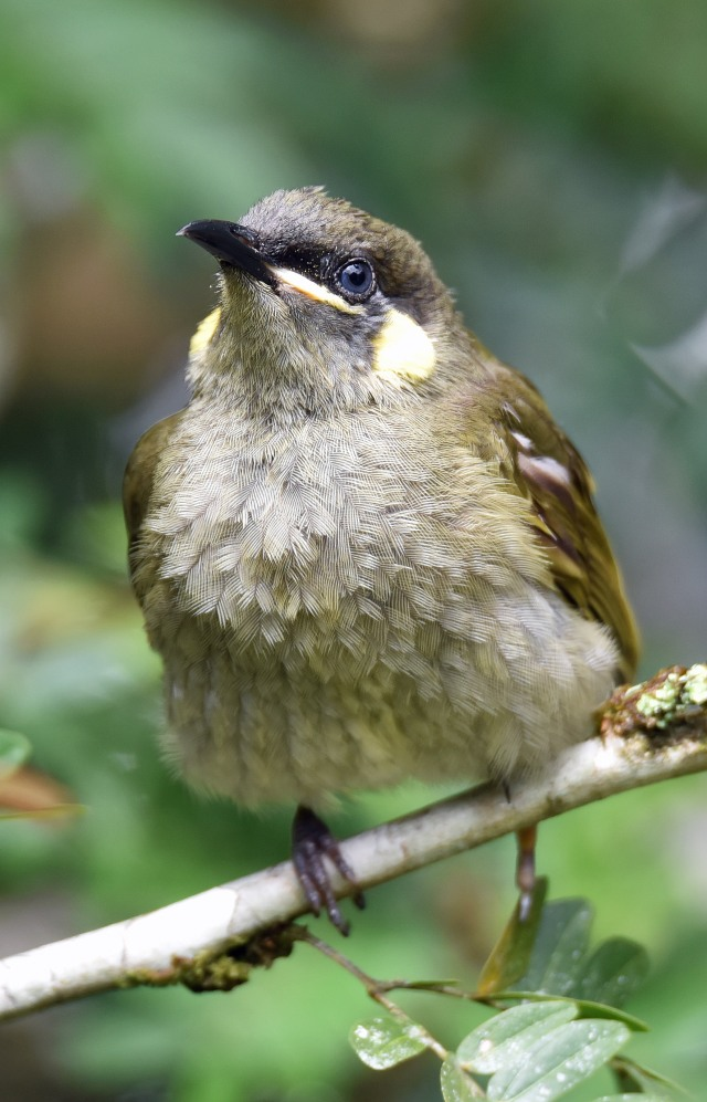 Lewins Honeyeater. Lake Barrine. Photo: David Clode.