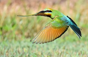 Rainbow Bee-eater flying over its nest (an underground tunnel). Photo: David Clode.