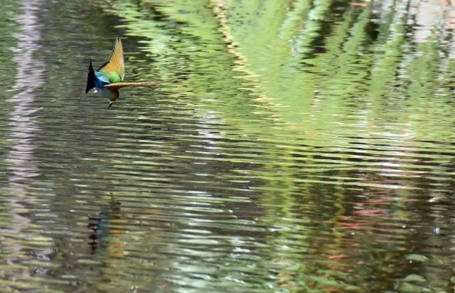 Bee-eater. Photo: david Clode.