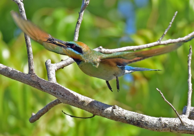 A Bee-eater has caught a dronfly. Photo: David Clode.