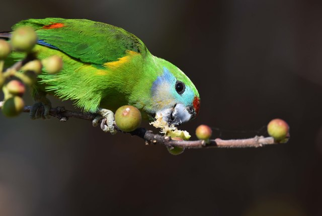 Female Double-eyed Figparrot. Photo: David Clode.