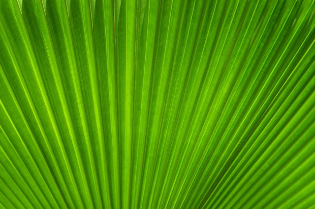Licuala leaf. Photo: David Clode.
