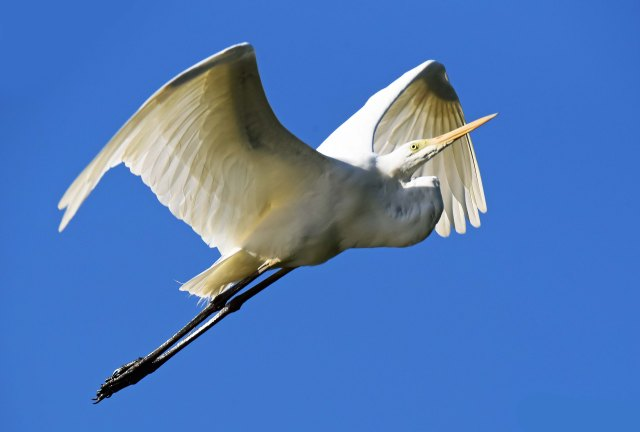 Flying Great Egret. Photo: David Clode.