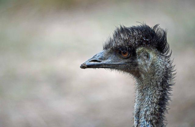 Emu profile. Mareeba Wetlands. Photo: David Clode.