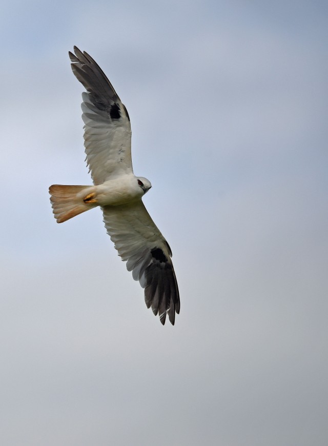 Black-shouldered Kite. Atherton. Photo: David Clode.