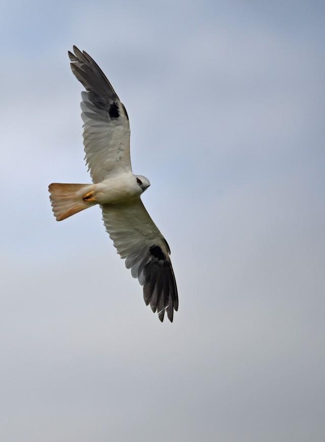 Black-shouldered Kite. Atherton. Photo: David Clode.