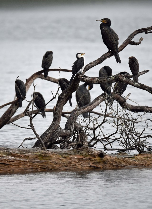 A conference of cormorants. Lake Barrine. Photo David Clode.