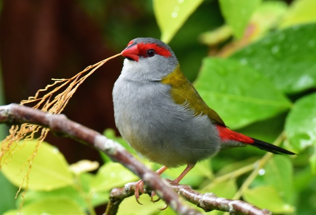 Red-browed Finch (Red-browed Firetail). lake Barrine. Photo: David Clode.