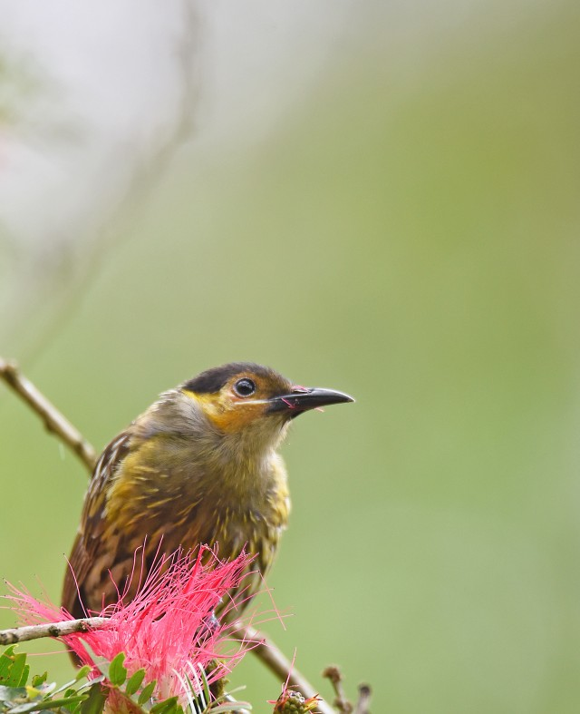 Macleay's Honeyeater. Lake Barrine. Photo: David Clode.