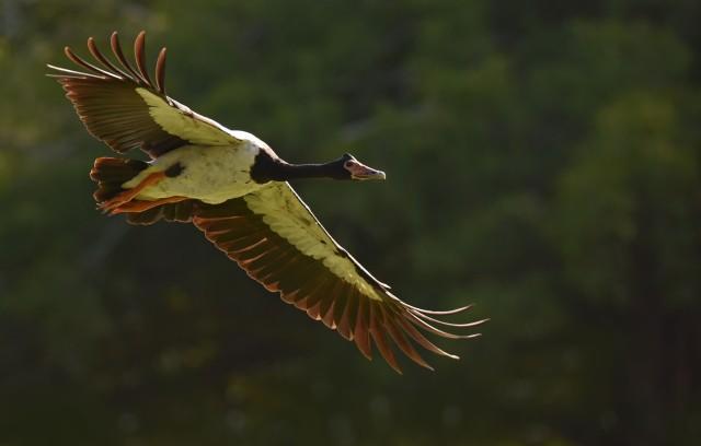 Flying Magpie Goose. Photo: David Clode.
