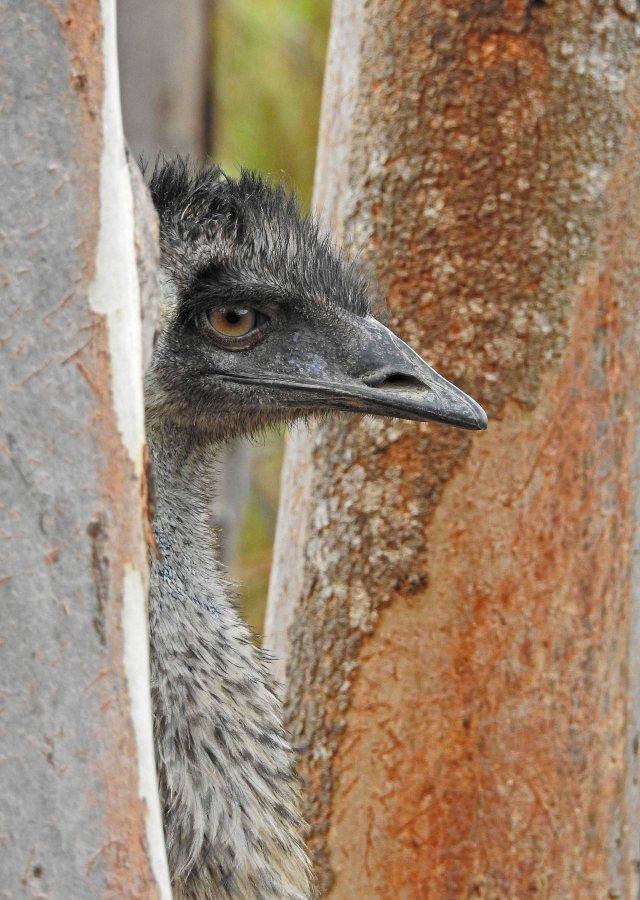 Emu profile. Photo: David Clode.