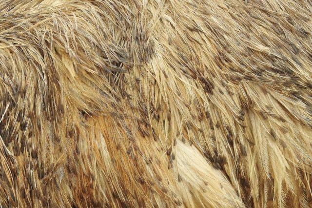 Emu plumage. Photo David Clode.