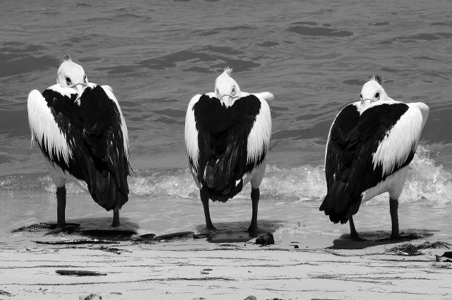 """A posse of pelicans"". Photo: David clode."