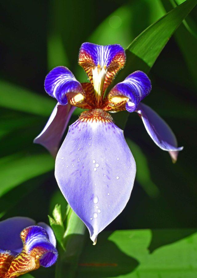 Neomarica caerulea. Photo: David Clode.