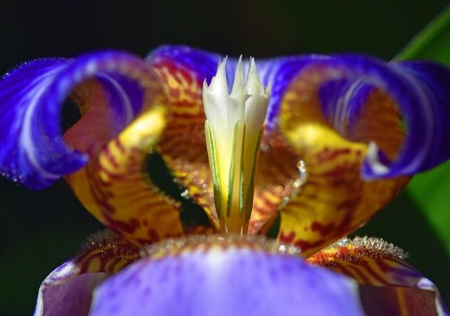 Neomarica caerulea macro shot. David Clode.
