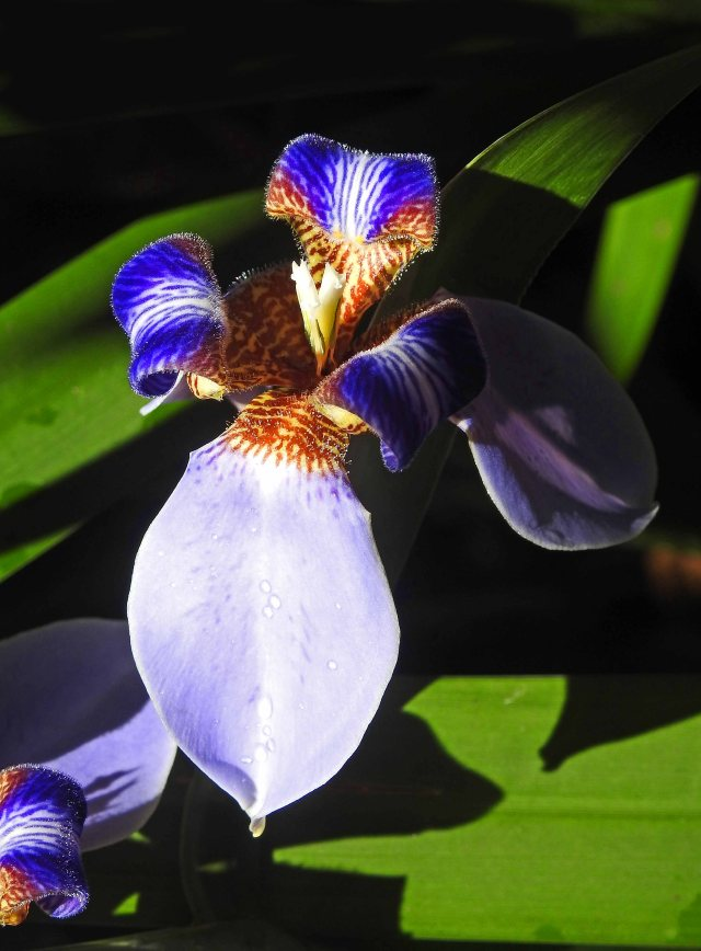Neomarica caerulea, Brazilian Walking Iris. photo: cairns Botanic Gardens, David Clode.