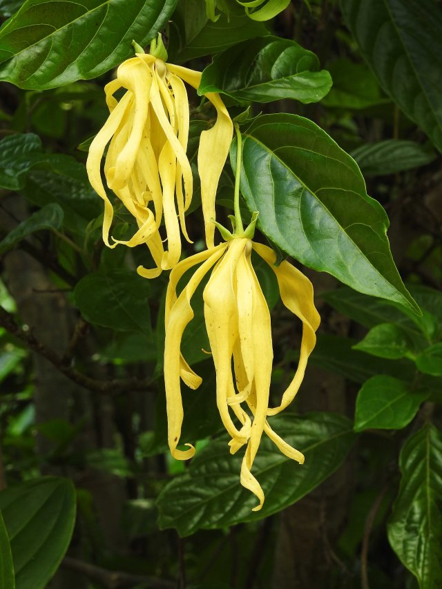 Ylang ylang flowers - used in perfumes. Cananga odorata. Photo: David Clode.